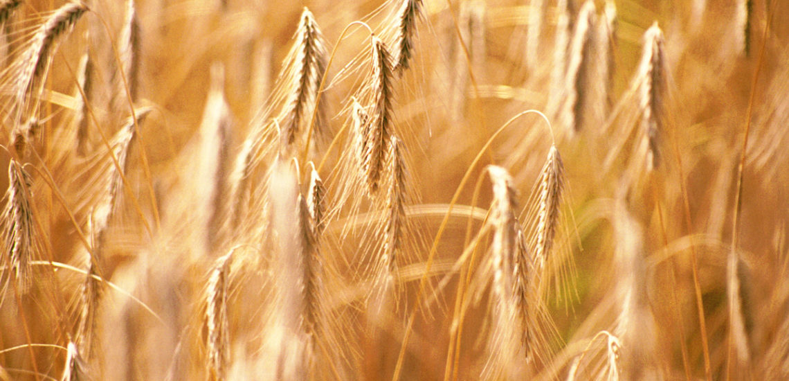 Ripe grain in a Saskatchewan field, ready to harvest - Photo by David Innes